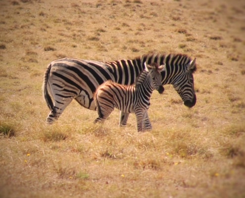 Zebras Gamedrive