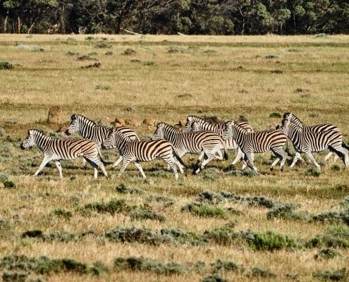 Zebras Western Cape