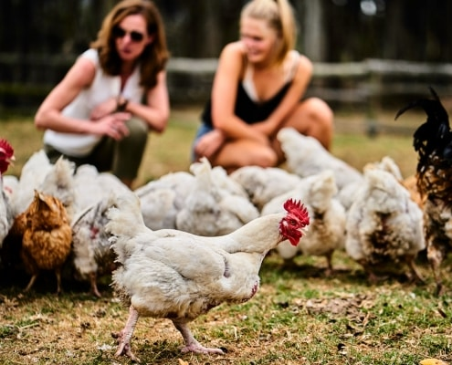 Chicken on a western cape farm with accommodation