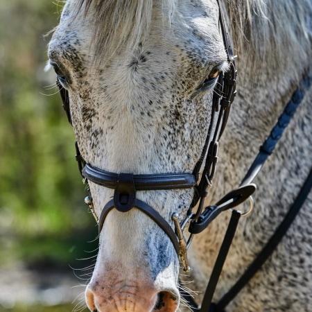 gezäumtes Pferd