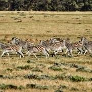Zebra Gamedrive